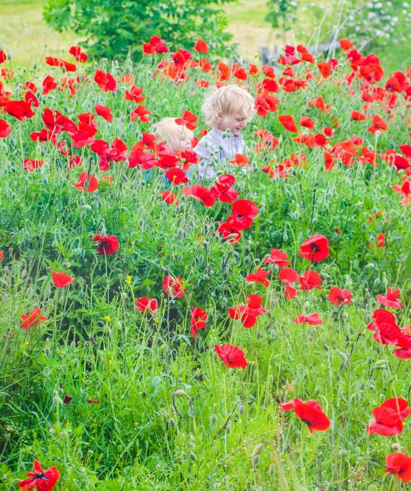 Wildblumenwiese, Mohn,