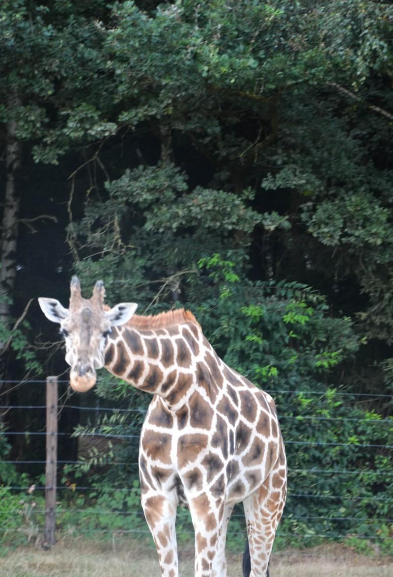 Lüneburger Heide, Giraffe