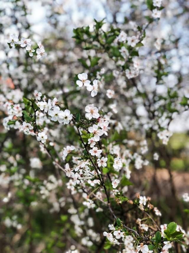 Frühling, Kirschblüten,