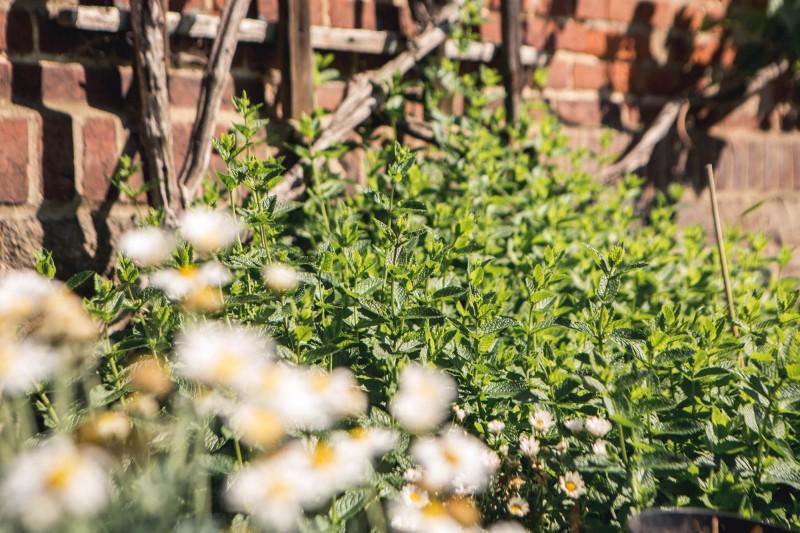 Gute Gärten, Gartenliebe, Minze,