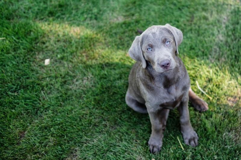 Labrador, Osmer,